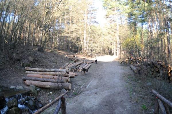 Санитарна сеч през 2015 в парк Княжевска борова гора Снимка Т. Палибикян